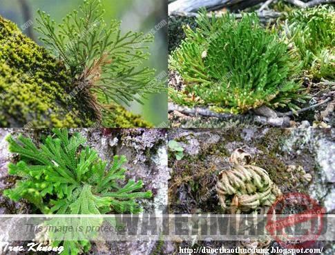 Selaginella tamariscina 1234 Moi sinh.JPG